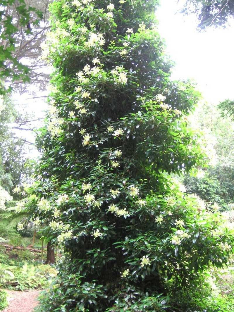A large evergreen hydrangea seemanii growing up a tree at for Evergreen climbing plants for privacy
