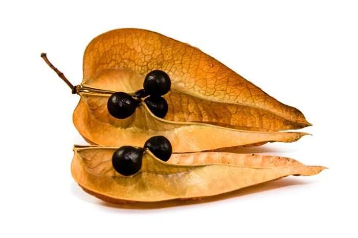 Seed Pods Four Seed Pods Tree Seeds Golden Rain Tree