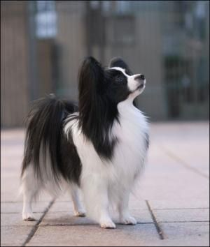 Papillon I Had One Named Gizmo Gizmo Was Given Away When I Was In The Hospital Without My Permission I Trie Perros Esponjosos Perro Papillon Razas De Perros