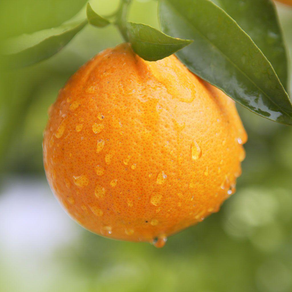 Orange Orange Organic Ingredients Powdered Water