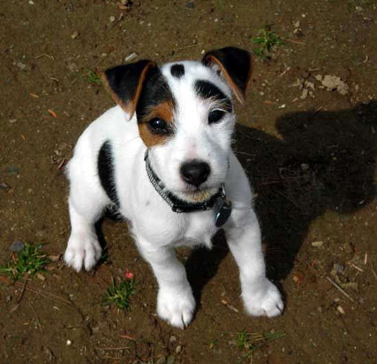 jack russell terrier hypoallergenic click for next picture nothing but jacks pinterest 1508