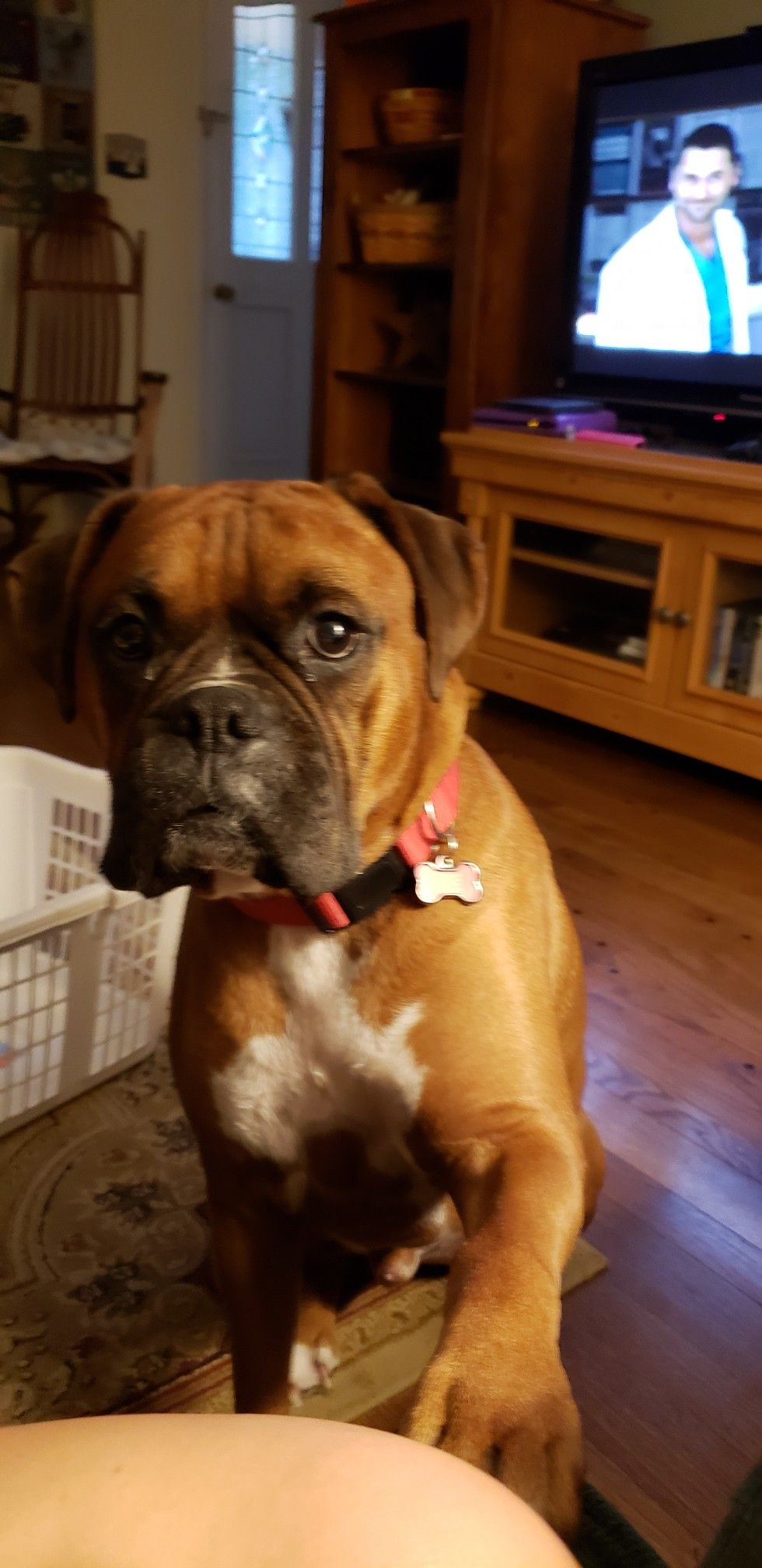 Pin By Jumanji On Boxer Boxer Pet Dogs Mans Best Friend
