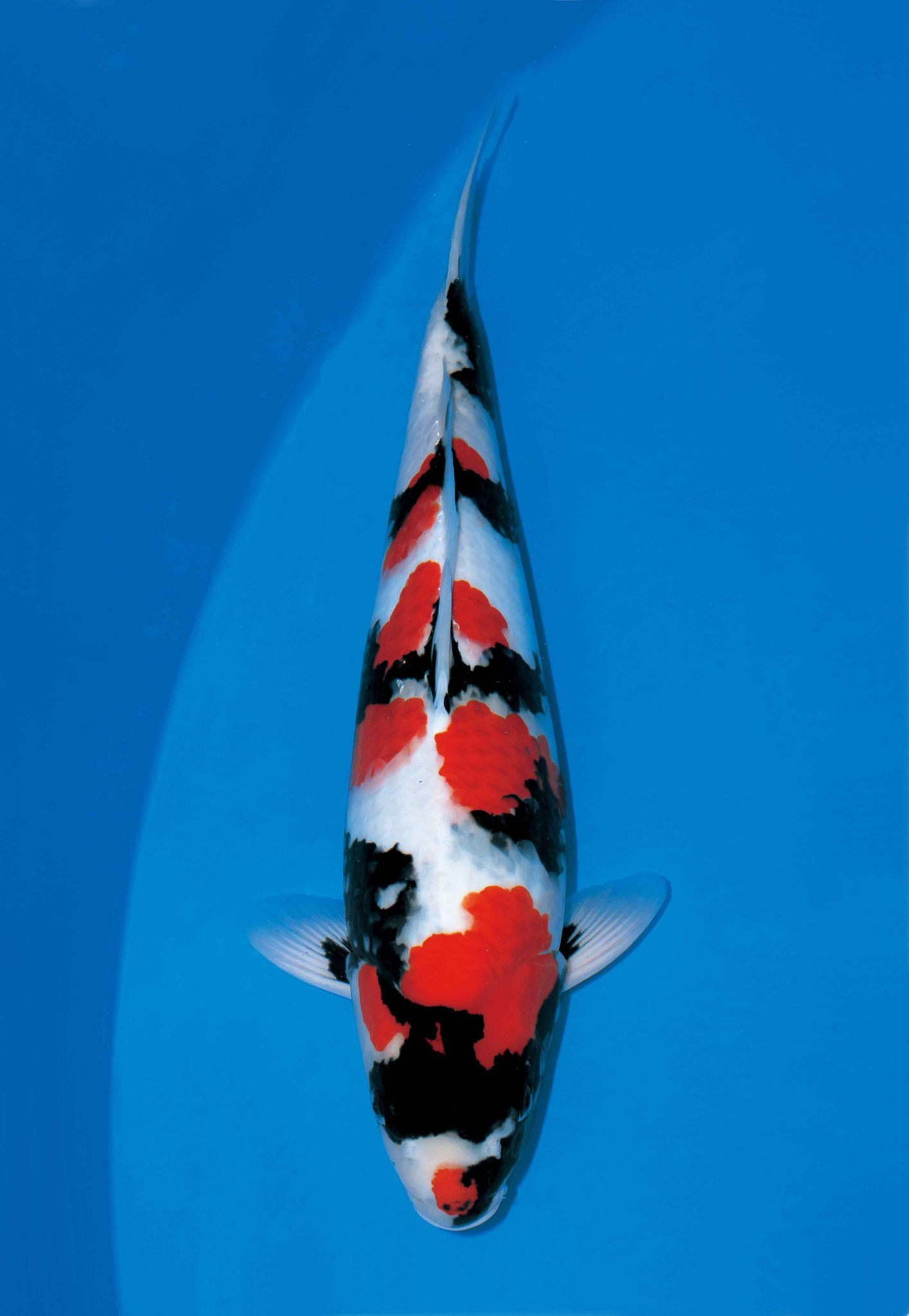Just Listed Our New Showa Check It Out Http Playitkoi Com Products Showa Utm Campaign Social Autopilot Utm Source Pin Utm Mediu Japanese Koi Koi Koi Fish