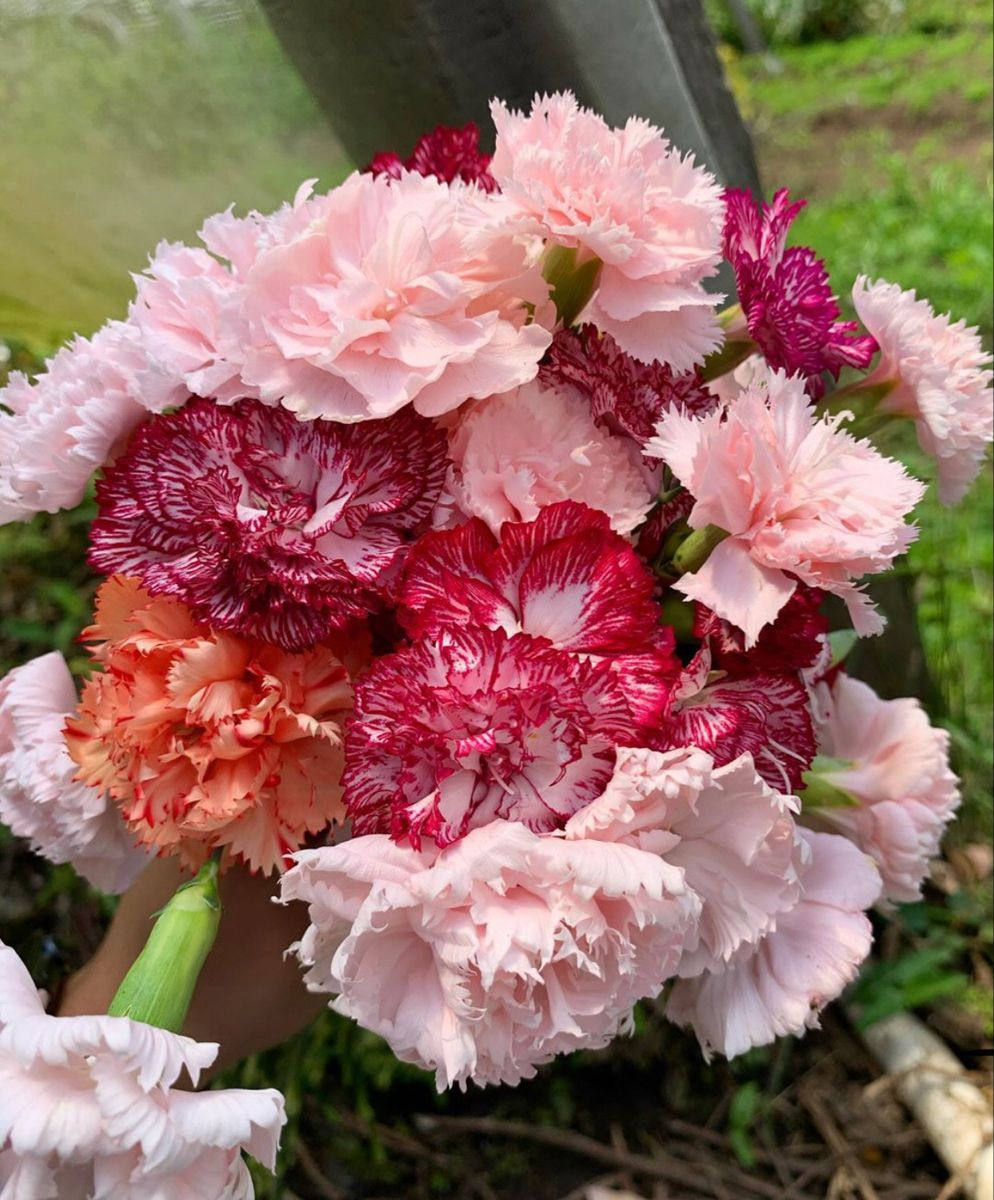 Carnation Flower In 2020 Carnation Flower Flowers Flowers For Sale