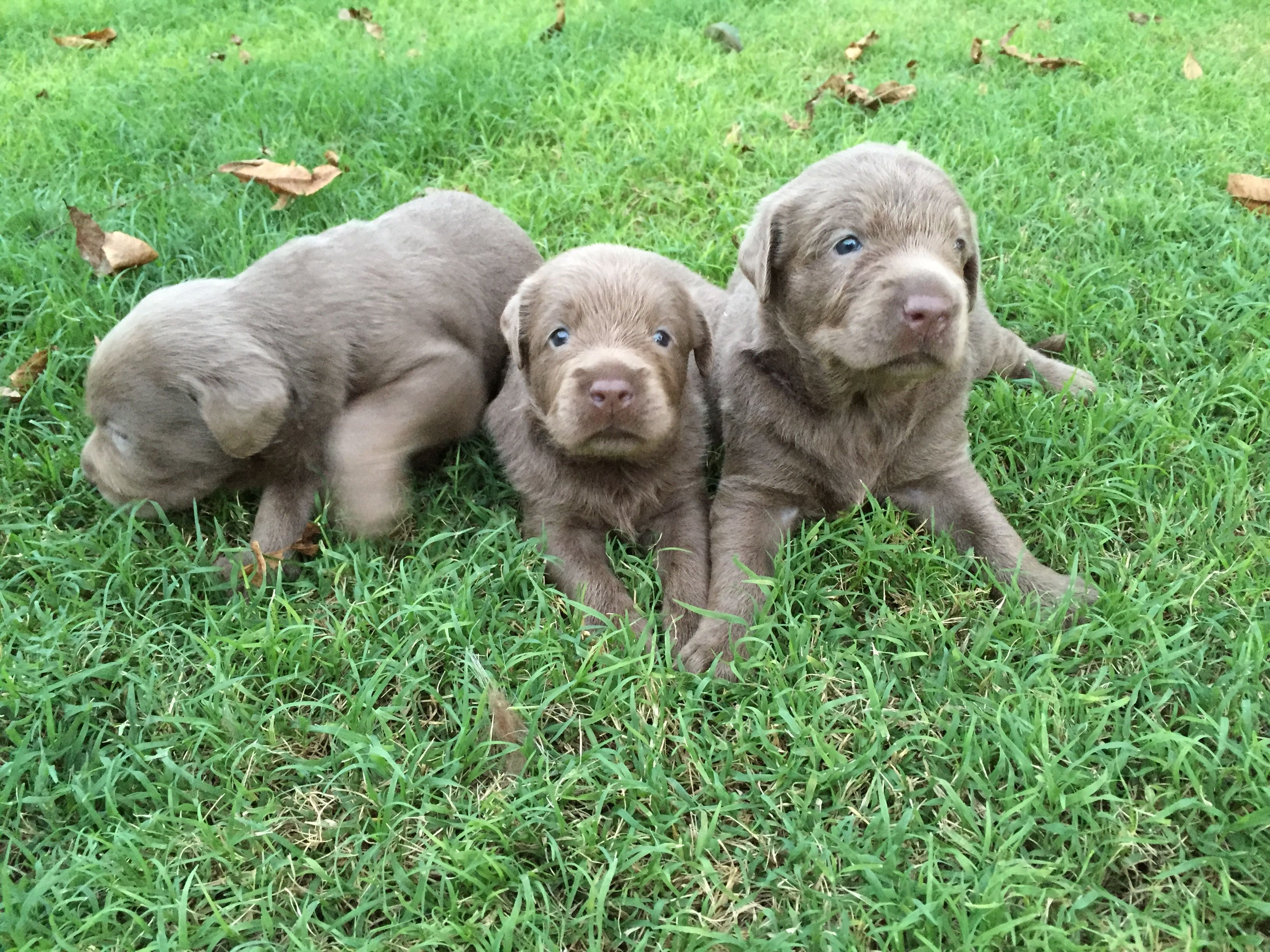 Check Us Out On Silverandcharcoalkennels Com Silver Lab Puppies