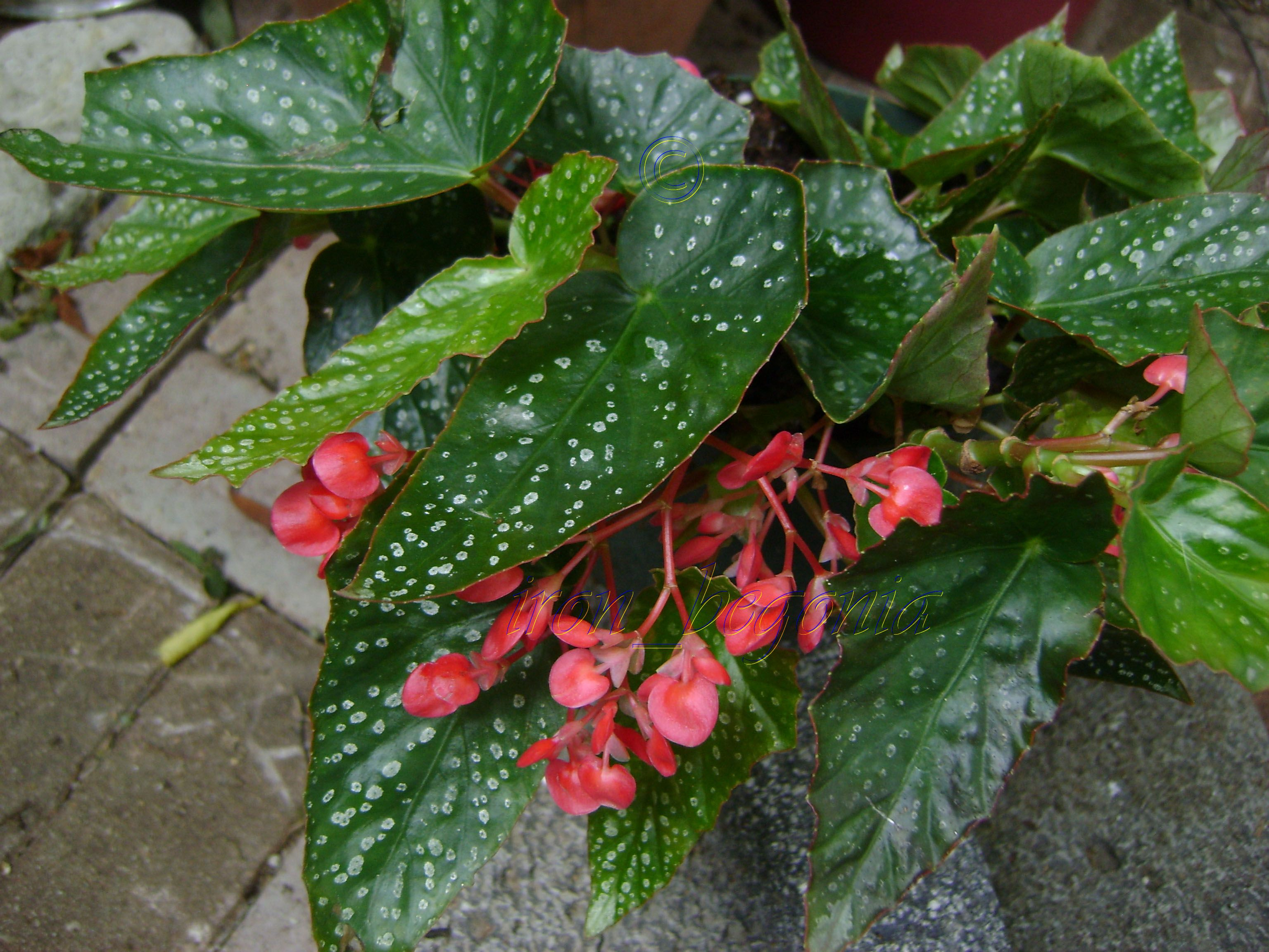 Angel Wing Begonia Snow Capped Has Medium Size Leaves The Leaves Have Small Silvery White Spots The Blooms Are Beautiful It Begonya Bitki Saksida Cicekler