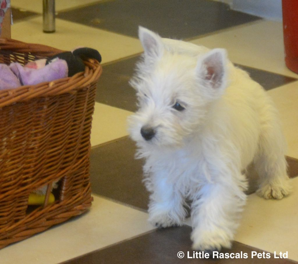 Buy My Dog Have Newly Available Westie Puppies For Adoption They