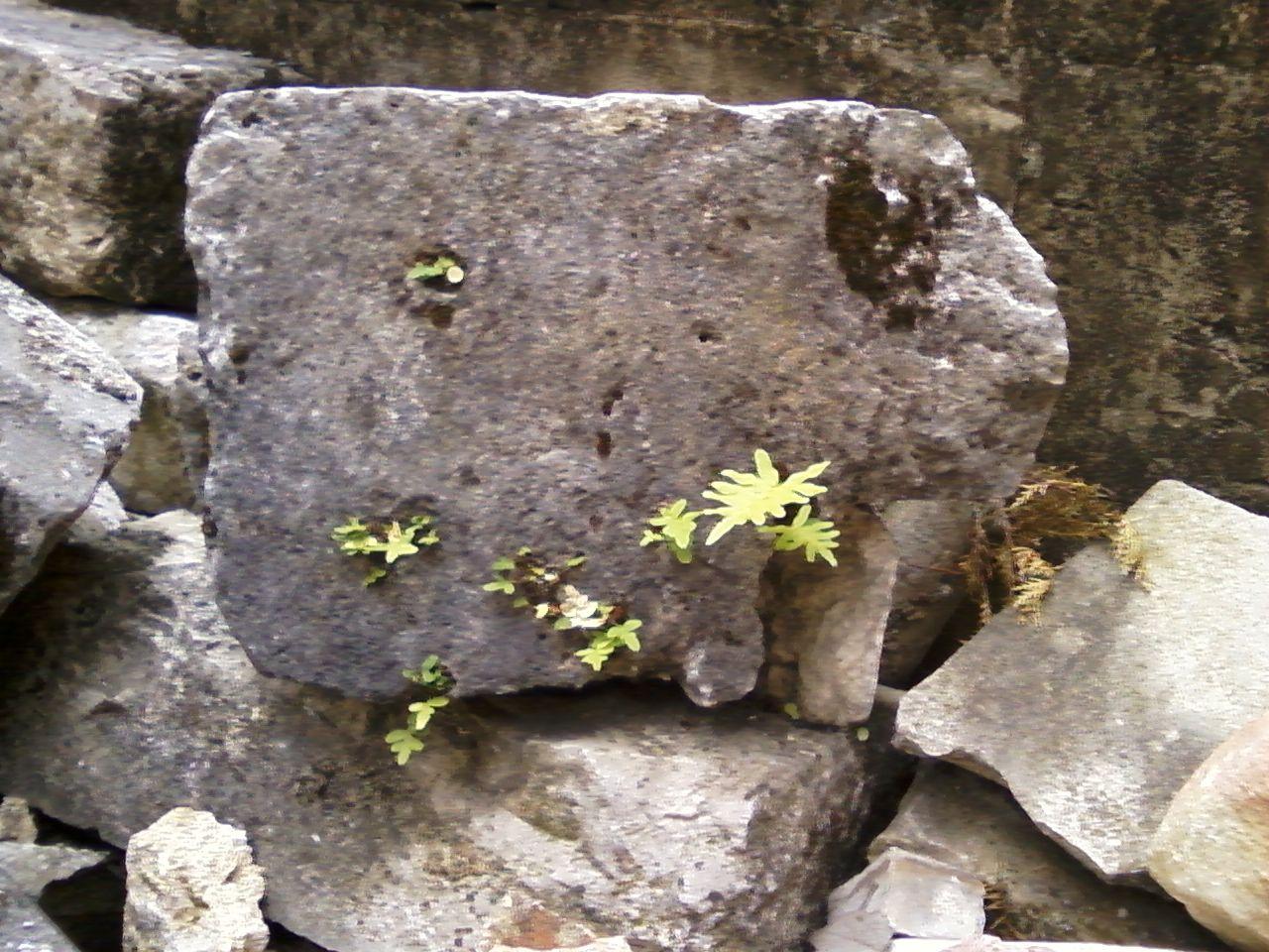 Radici nella pietra
