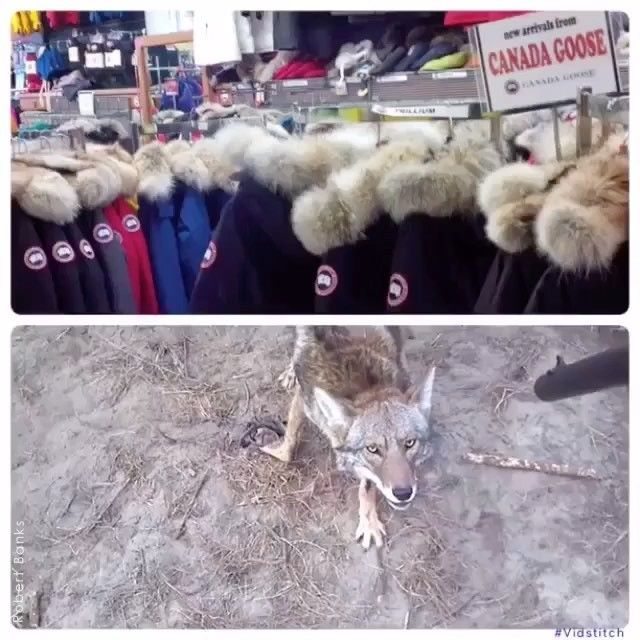 canada goose jackets animal cruelty