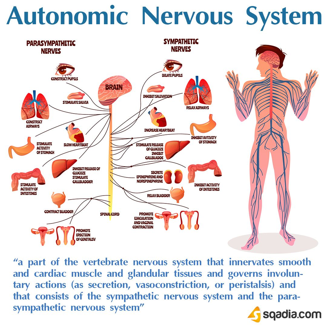 Autonomic Nervous System Autonomic Nervous System Nervous System Anatomy And Physiology