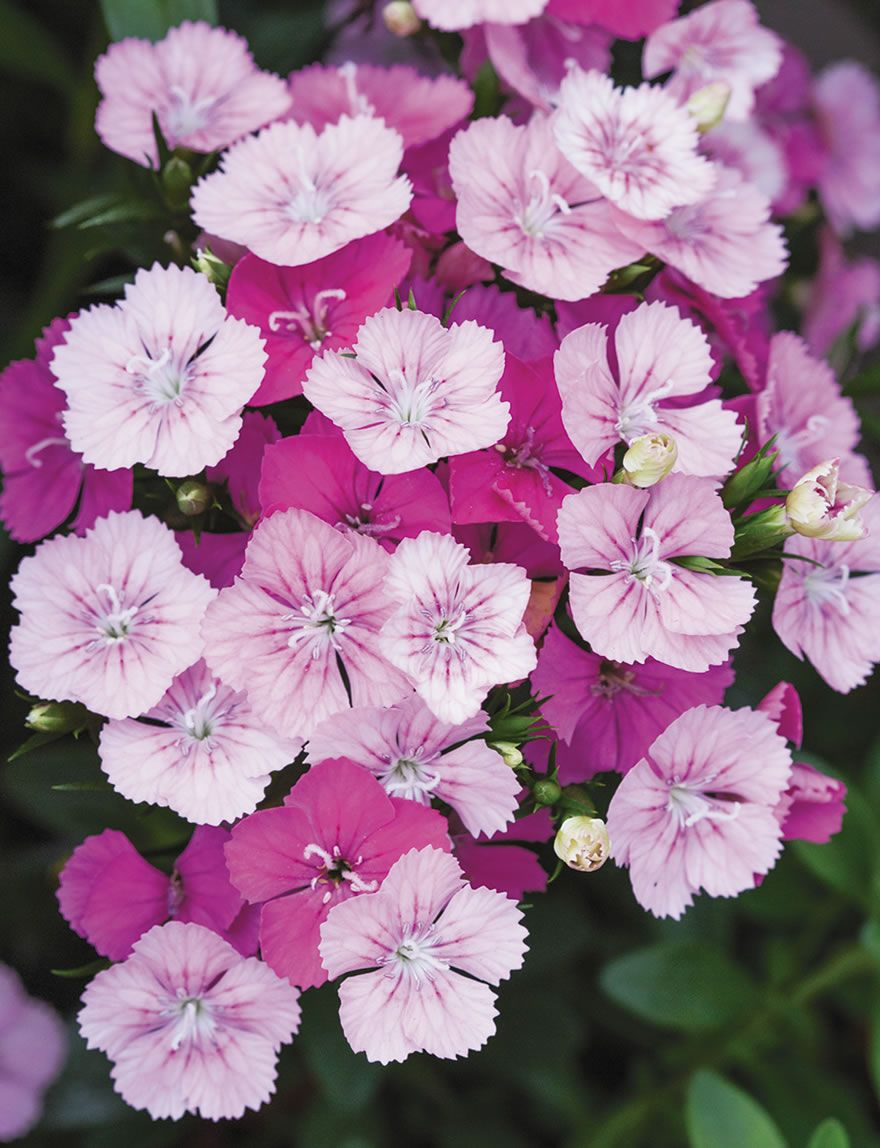 A Magical Choice With A Range Of Pinks Flowering All At Once On Each