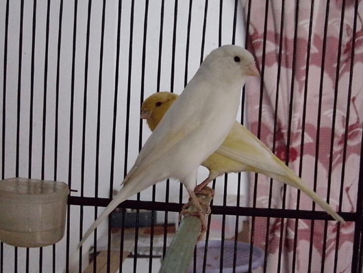 Tips Ternak Kenari Agar Hasil Anakan Jantan Paling Mudah Kenari Burung Peternakan