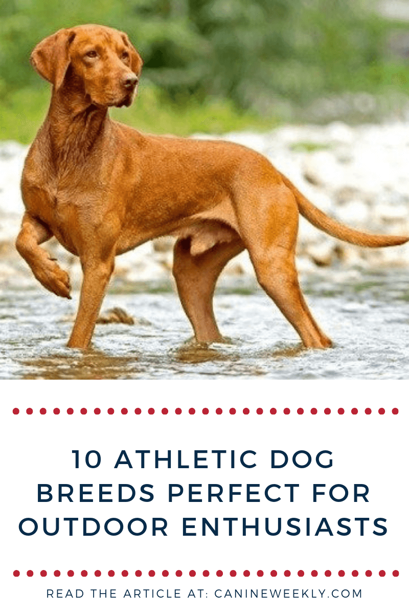 10 Most Athletic Dog Breeds For a Fit Lifestyle Athletic