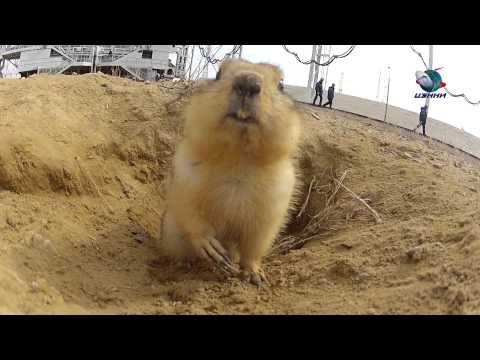 "Житель космодрома ""Байконур"".  A yellow ground squirrel at the Baikonur cosmodrome"