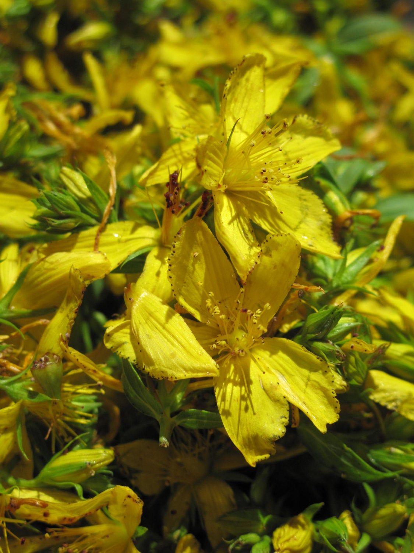 St. John's Wort (Hypericum perforatum) Organic Herb