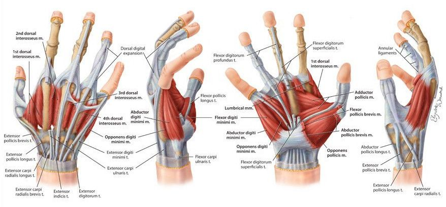 anatomy of tendons in hand wrist and ligaments geoface ...  pinterest