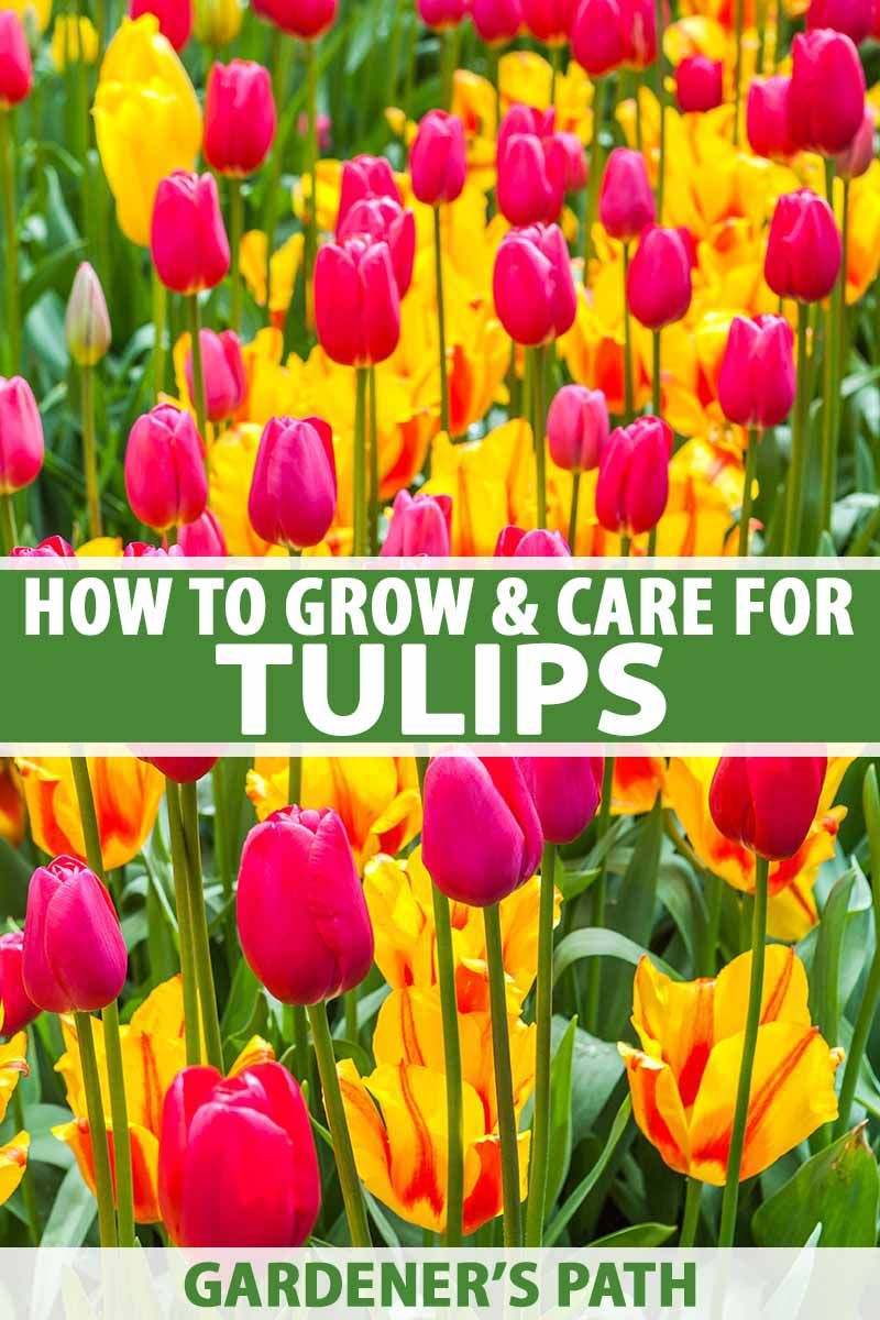 How To Grow And Care For Tulips Gardener S Path In 2020 Planting Tulips Growing Tulips When To Plant Tulips