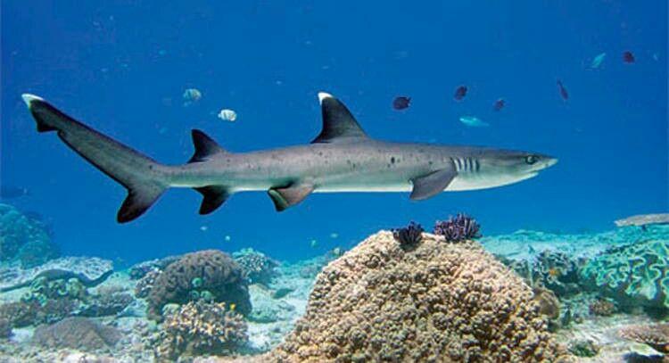 148adad683 White Tip Reef shark