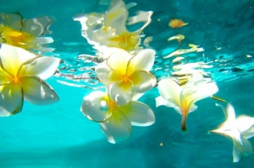 Plumeria Floating a Pool Bora Flowers HD Desktop Wallpaper ...