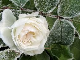 Resultado de imagem para Geada com flores