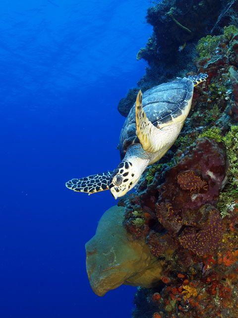 "Turtle on wall ( Eretmochelys imbricata). ""Dive. Dive. Dive."""