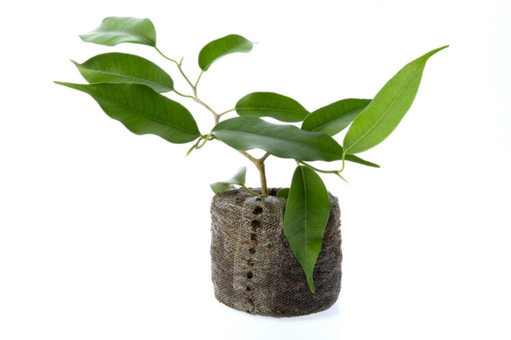 Ficus Benajmini vermehren   Ficus, Ficus benjamini, Benjamini
