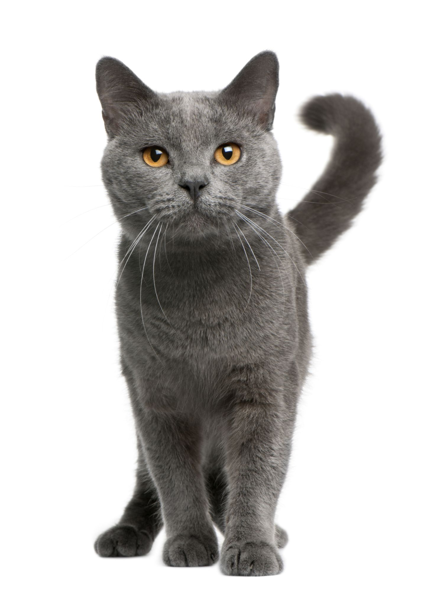 Types of ShortHaired Gray Cats Chartreux cat, Cat