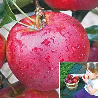 I Want To Grow This Pixie Crunch Apple Tree The Pixie Crunch Apple Tree Li L Big 2 3 Ft Looks Just Right Well Except Growing Raspberries Apple Tree Apple