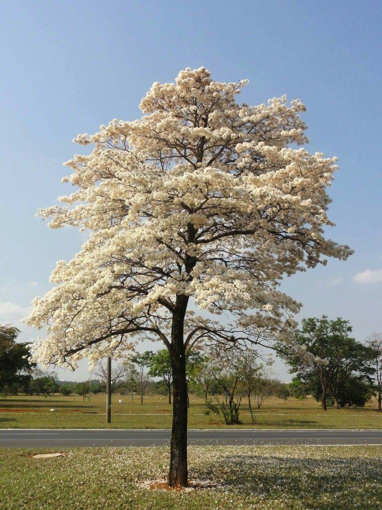 Ipê branco em Brasília BRASIL | Árvores floridas, Arvores lindas, Ipê