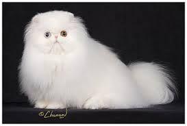 Resultado de imagem para gato persa