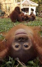 Borneo Orangutan... beautiful babies!
