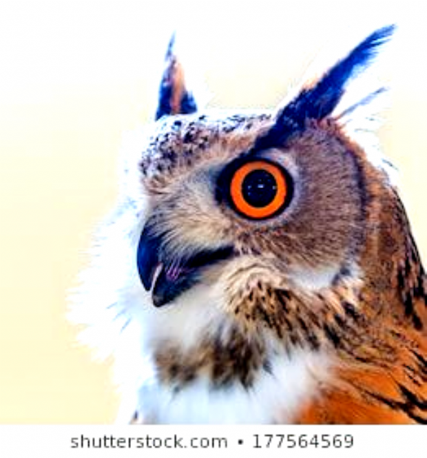 Siberian eagle owl and  Bubo bubo sibiricus Living in Siberian #animal, #awe, #background, #beak, #beautiful, #bird, #brown, #bubo, #captivity, #carnivore, #close-up, #conservation, #discovery, #eagle, #europe, #eye, #falconry, #feather, #fly, #hand, #hawk, #head, #hunter, #hunting, #nature, #night, #nocturnal, #orange, #owl, #predator, #prey, #raptor, #siberian, #sibericus, #snow, #stare, #study, #thailand, #trainer, #watching, #white, #wild, #wildlife, #wing, #wisdom, #wise