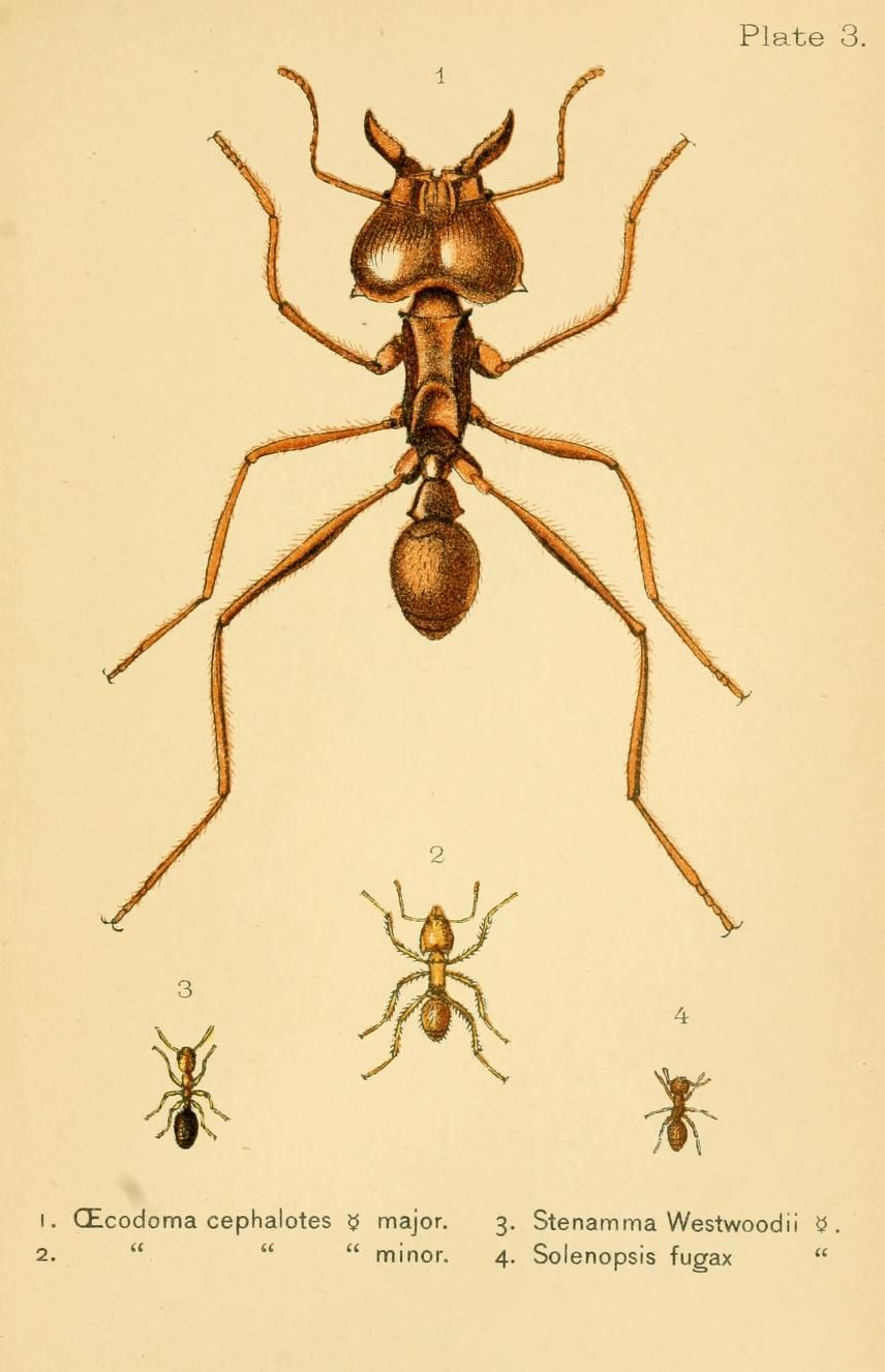 Oecodoma, Stenamma, Solenopsis. Ants, bees, and wasps ; a record of observations on the habits of the social Hymenoptera New York :Appleton,1897. Biodiversitylibrary. Biodivlibrary. BHL. Biodiversity Heritage Library