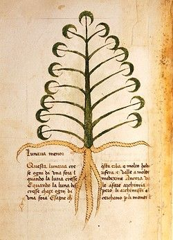 Manuscript, Italy, 15th century. Herbal from Trento. Plate: Herba Lunaria menor - Moonwort (Lunaria). Herb used in alchemy, a leaf grows daily with the waxing moon and a leaf falls daily with the waning moon. Manuscript 1591, folio 12, verso. Herbal with dedication to Saint Mark.