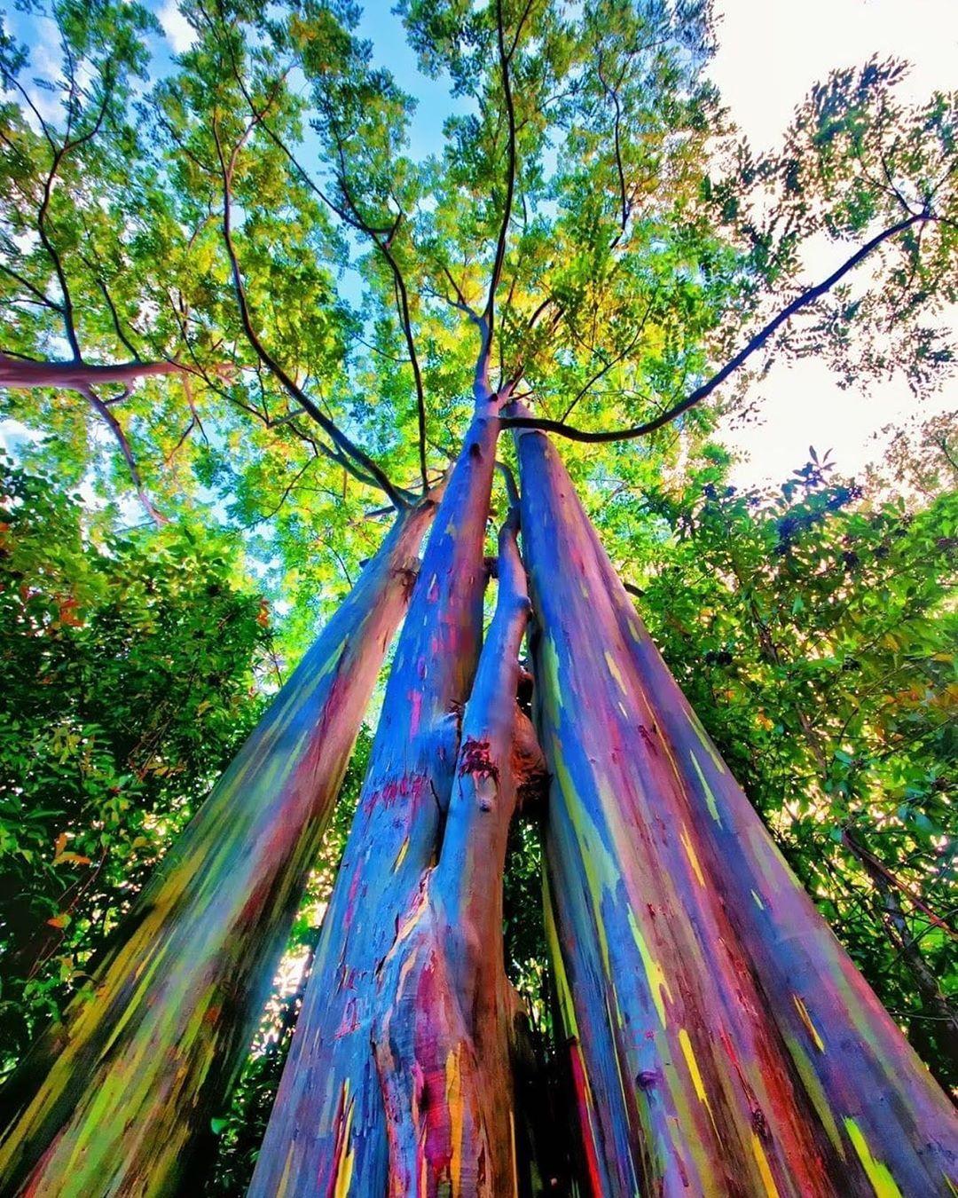Eucalyptus Deglupta Is A Species