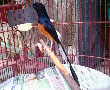 Informasi Ciri Ciri Dan Gambar Murai Batu Medan Suaraburung Xyz Oiseaux
