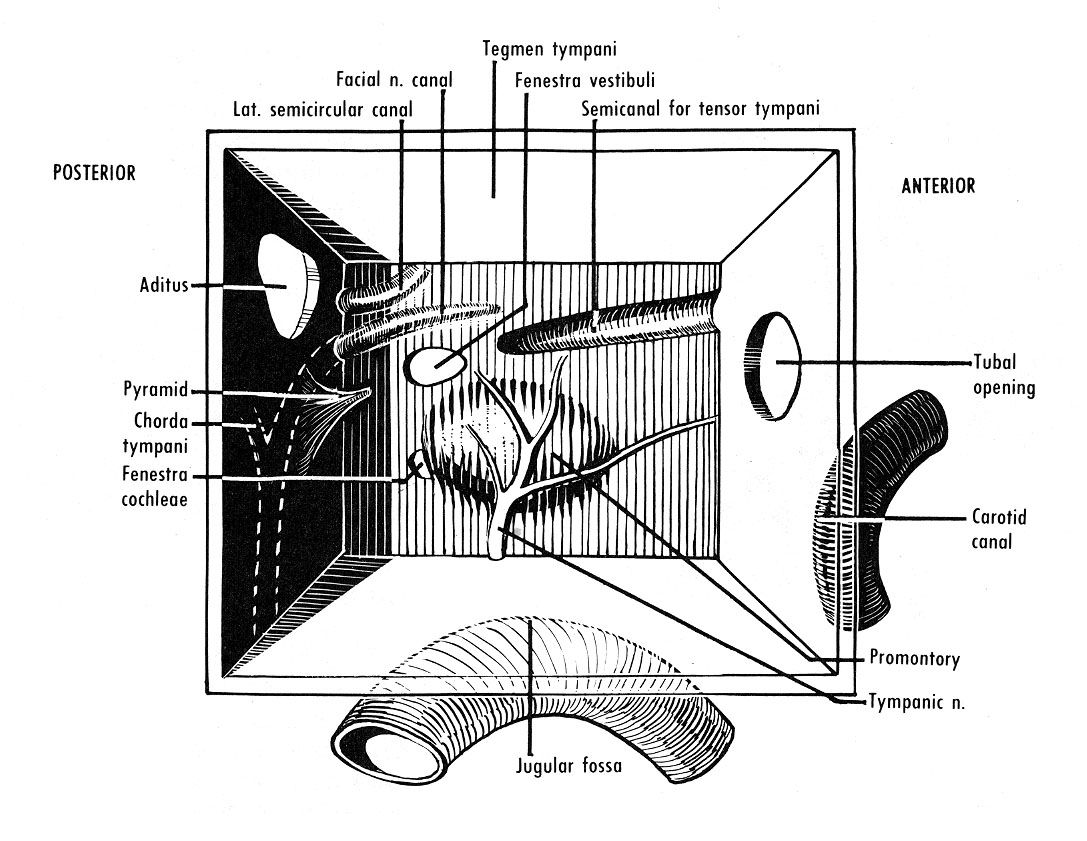 Tympanic Cavity Walls (6) | anatomy is amazing | Pinterest