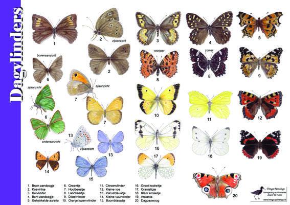 herkenningskaart zoekkaart dagvlinders vlinders