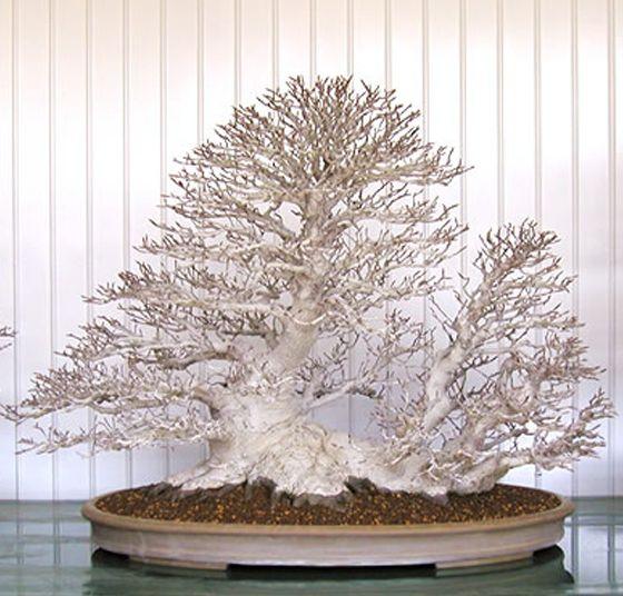 http://bonsaibark.com/wp-content/uploads/beech.jpg