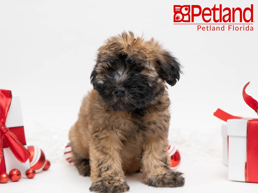 Petland Florida Has Soft Coated Wheaten Terrier Puppies For Sale