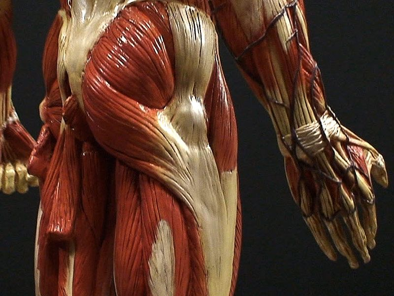 The Gnomon Workshop - Male Anatomy Figure V.3 with Medical and ...