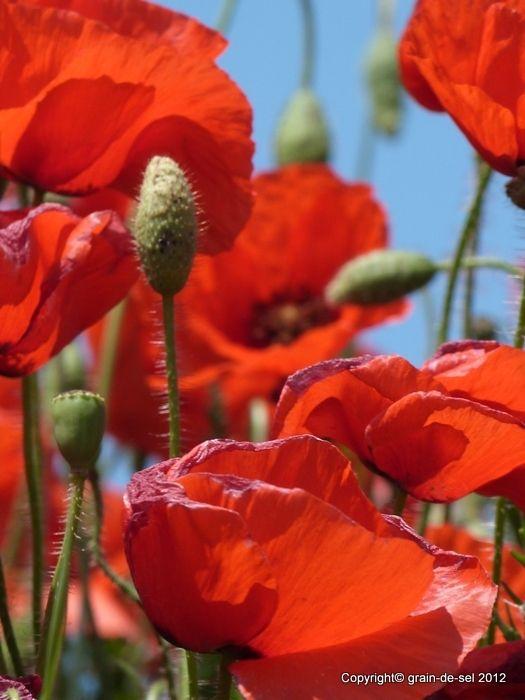 Klatschmohn Gilt Als Die Blume Der Leidenschaft Pfluckt Man Ihn Ist Die Enttauschung Gross Seine Blatter W Red Poppies Poppy Flower Flowers Photography
