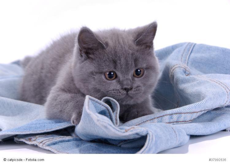 Adorable British Shorthair Kitten Mit Bildern Katzen
