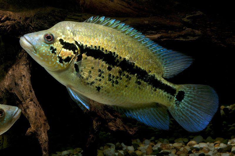 Parachromis dovii - Wolf Cichlid - Femalewith-5297