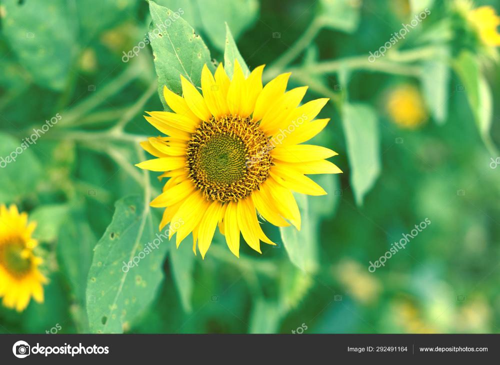 Unduh Bunga Matahari Kuning Dengan Bentuk Bulat Stok Gambar Bunga Matahari Bunga Bunga Kuning