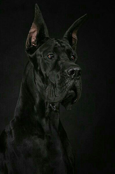Black Great Dane Puppy Dane Puppies Puppies Great Dane Puppy