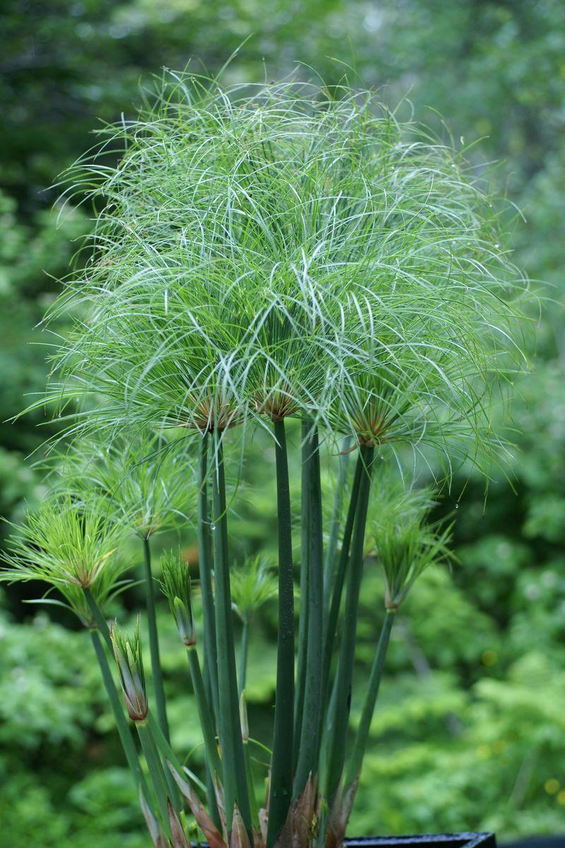Cyperacees papyrus degypte cyperus papyrus egyptian paper for Plante verte vivace exterieur