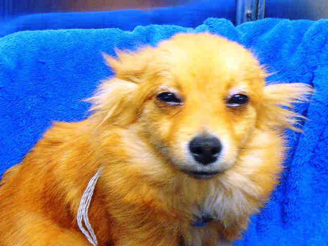 No Longer Listed Texas U Id A380429 Is A 5mo Old Pomeranian Mix Dog In Need Of A Loving