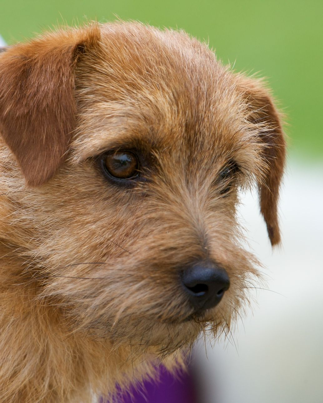Small Dog Breeds Terrier Mbahe Norfolk terrier, Dog