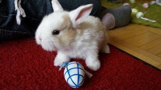 Junges Zwergwidderli Zu Ostern Kaninchen Zwergkaninchen